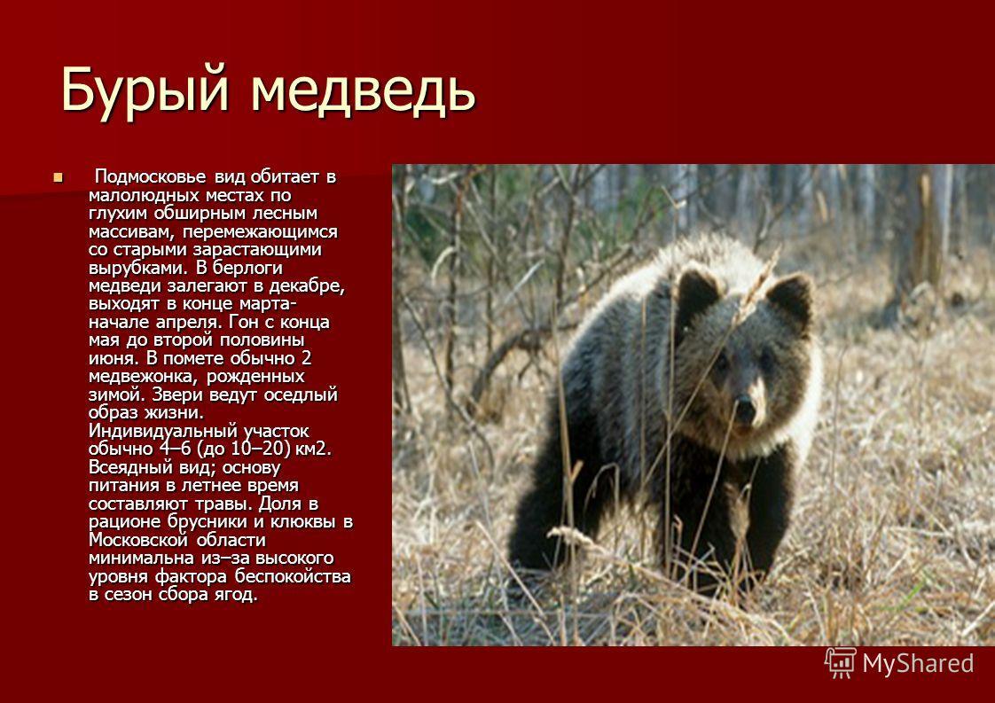 Бурый медведь Подмосковье вид обитает в малолюдных местах по глухим обширным лесным массивам, перемежающимся со старыми зарастающими вырубками. В берлоги медведи залегают в декабре, выходят в конце марта- начале апреля. Гон с конца мая до второй поло
