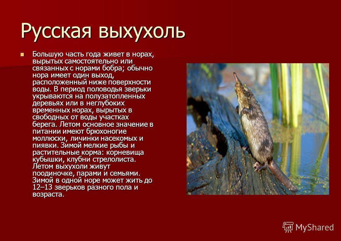 Русская выхухоль Большую часть года живет в норах, вырытых самостоятельно или связанных с норами бобра; обычно нора имеет один выход, расположенный ниже поверхности воды. В период половодья зверьки укрываются на полузатопленных деревьях или в неглубо