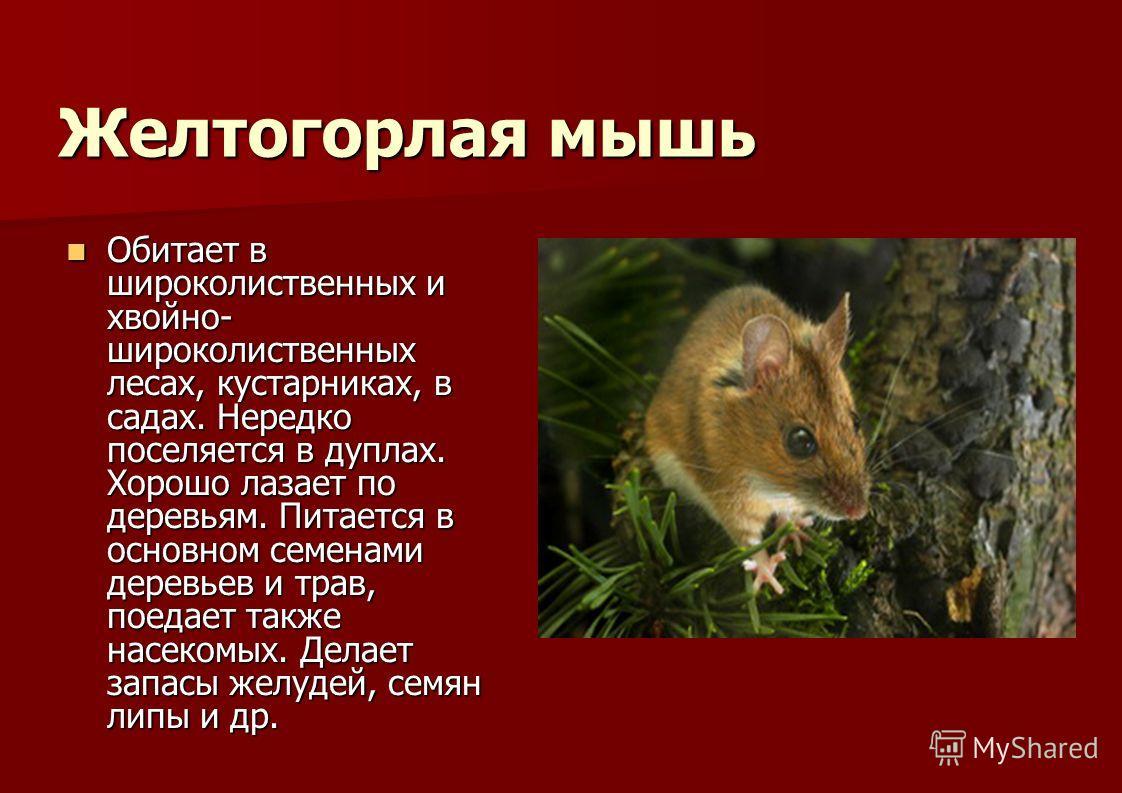Желтогорлая мышь Обитает в широколиственных и хвойно- широколиственных лесах, кустарниках, в садах. Нередко поселяется в дуплах. Хорошо лазает по деревьям. Питается в основном семенами деревьев и трав, поедает также насекомых. Делает запасы желудей,