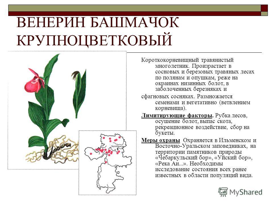 ВЕНЕРИН БАШМАЧОК КРУПНОЦВЕТКОВЫЙ Короткокорневищный травянистый многолетник. Произрастает в сосновых и березовых травяных лесах по полянам и опушкам, реже на окраинах низинных болот, в заболоченных березняках и сфагновых сосняках. Размножается семена
