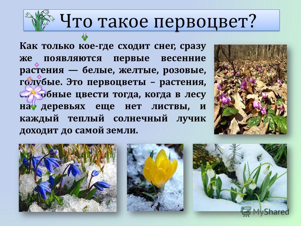 Что такое первоцвет? Как только кое-где сходит снег, сразу же появляются первые весенние растения белые, желтые, розовые, голубые. Это первоцветы – растения, способные цвести тогда, когда в лесу на деревьях еще нет листвы, и каждый теплый солнечный л