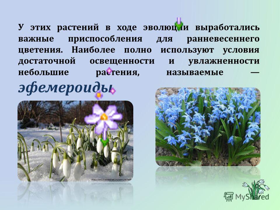 У этих растений в ходе эволюции выработались важные приспособления для ранневесеннего цветения. Наиболее полно используют условия достаточной освещенности и увлажненности небольшие растения, называемые эфемероиды.