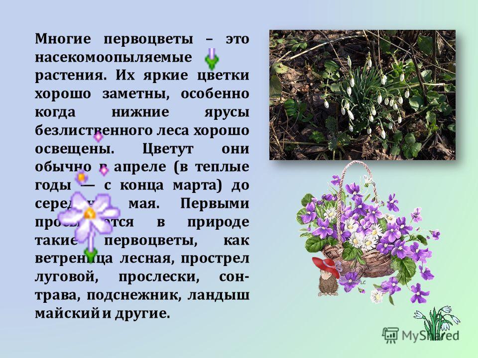 Многие первоцветы – это насекомоопыляемые растения. Их яркие цветки хорошо заметны, особенно когда нижние ярусы безлиственного леса хорошо освещены. Цветут они обычно в апреле (в теплые годы с конца марта) до середины мая. Первыми просыпаются в приро
