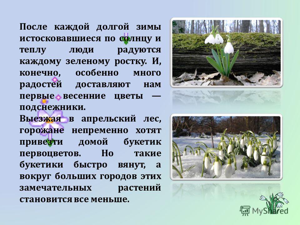 После каждой долгой зимы истосковавшиеся по солнцу и теплу люди радуются каждому зеленому ростку. И, конечно, особенно много радостей доставляют нам первые весенние цветы подснежники. Выезжая в апрельский лес, горожане непременно хотят привезти домой