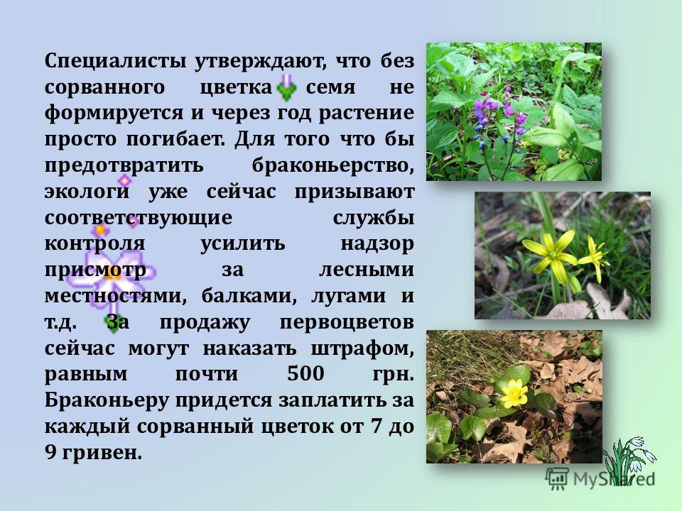 Специалисты утверждают, что без сорванного цветка семя не формируется и через год растение просто погибает. Для того что бы предотвратить браконьерство, экологи уже сейчас призывают соответствующие службы контроля усилить надзор присмотр за лесными м