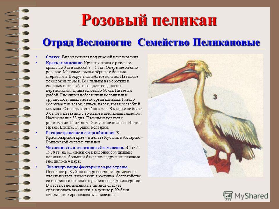 Розовый пеликан Отряд Веслоногие Семейство Пеликановые Статус. Вид находится под угрозой исчезновения. Краткое описание. Крупная птица с размахом крыла до 3 м и массой 8 – 11 кг. Оперение бледно - розовое. Маховые крылья чёрные с белыми стержнями. Во