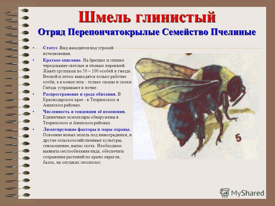 Шмель глинистый Отряд Перепончатокрылые Семейство Пчелиные Статус. Вид находится под угрозой исчезновения. Краткое описание. На брюшке и спинке чередование светлых и тёмных перевязей. Живёт группами по 50 – 100 особей в гнезде. Весной и летом выводят
