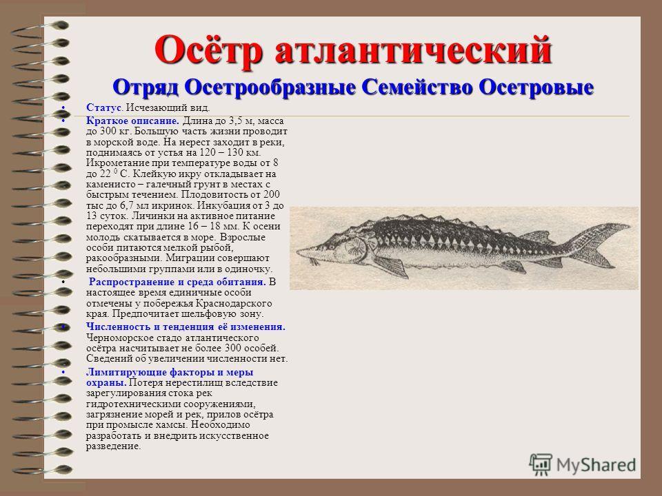 Осётр атлантический Отряд Осетрообразные Семейство Осетровые Статус. Исчезающий вид. Краткое описание. Длина до 3,5 м, масса до 300 кг. Большую часть жизни проводит в морской воде. На нерест заходит в реки, поднимаясь от устья на 120 – 130 км. Икроме