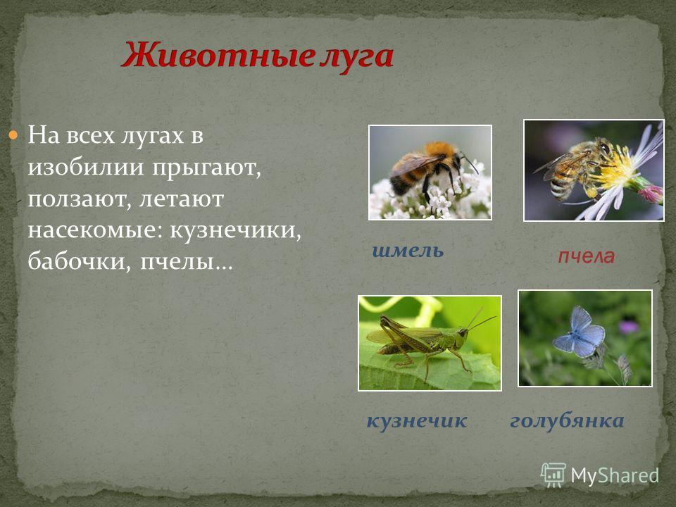 На всех лугах в изобилии прыгают, ползают, летают насекомые: кузнечики, бабочки, пчелы… шмель пчела кузнечик голубянка