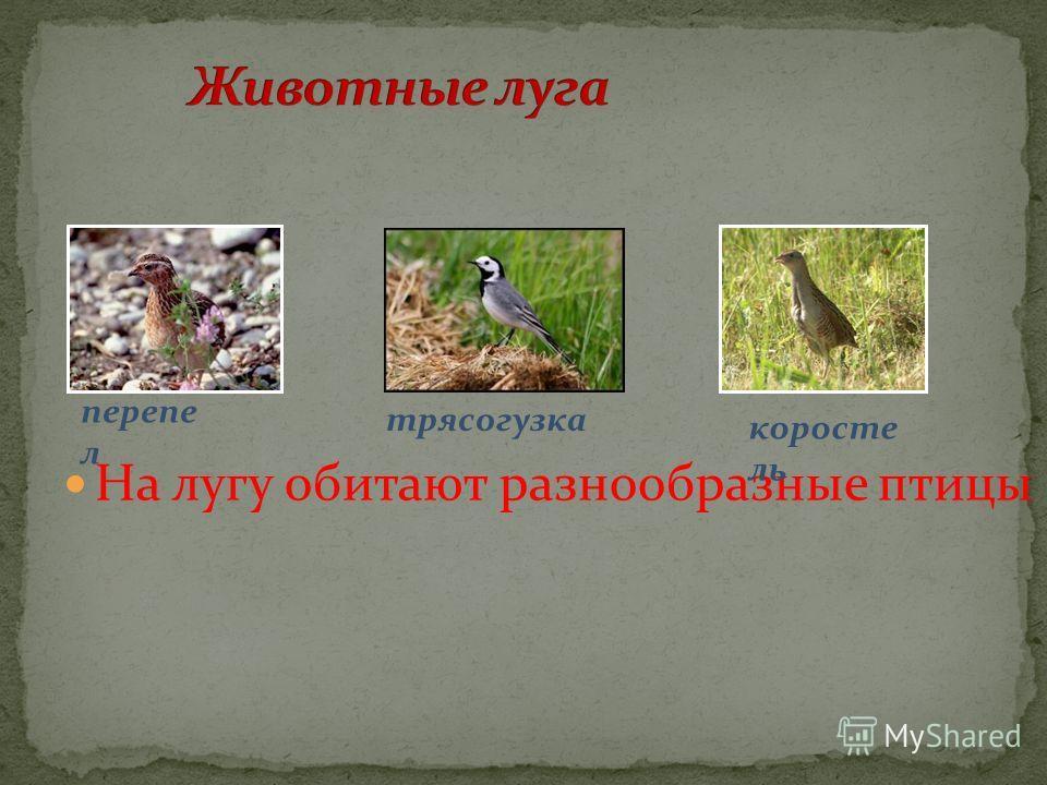 На лугу обитают разнообразные птицы перепел коросте ль трясогузка