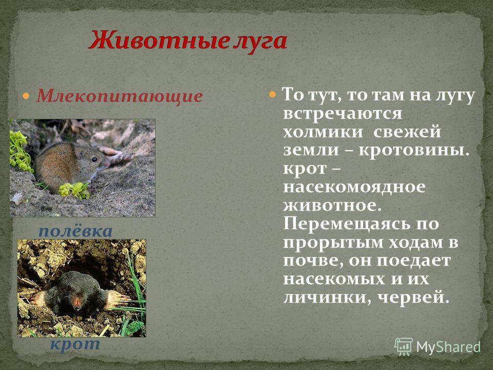 Млекопитающие То тут, то там на лугу встречаются холмики свежей земли – кротовины. крот – насекомоядное животное. Перемещаясь по прорытым ходам в почве, он поедает насекомых и их личинки, червей. полёвка крот
