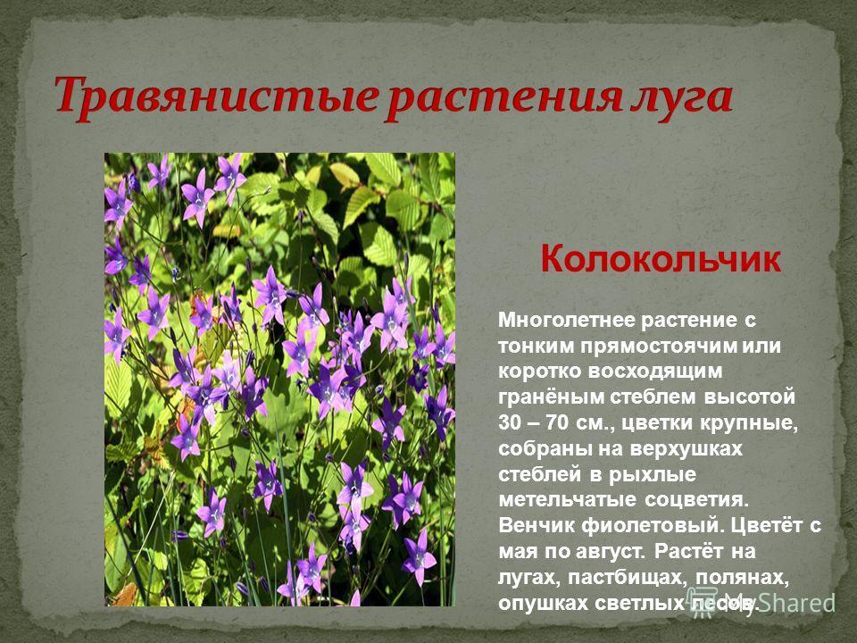 Колокольчик Многолетнее растение с тонким прямостоячим или коротко восходящим гранёным стеблем высотой 30 – 70 см., цветки крупные, собраны на верхушках стеблей в рыхлые метельчатые соцветия. Венчик фиолетовый. Цветёт с мая по август. Растёт на лугах