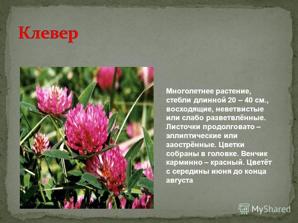 Многолетнее растение, стебли длинной 20 – 40 см., восходящие, не ветвистые или слабо разветвлённые. Листочки продолговато – эллиптические или заострённые. Цветки собраны в головке. Венчик карминно – красный. Цветёт с середины июня до конца августа