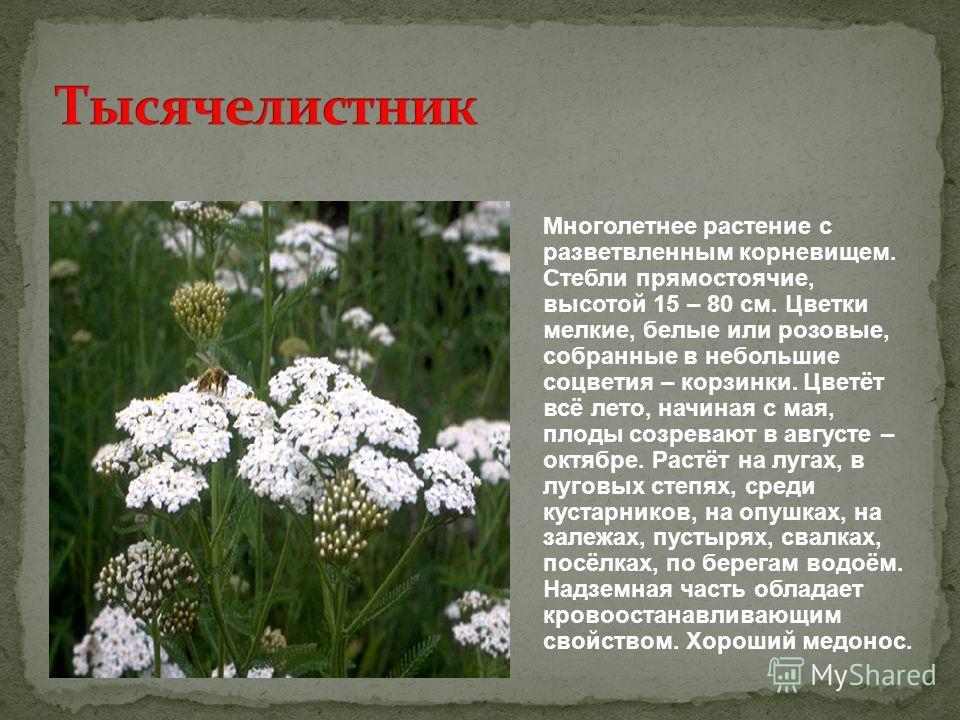 Многолетнее растение с разветвленным корневищем. Стебли прямостоячие, высотой 15 – 80 см. Цветки мелкие, белые или розовые, собранные в небольшие соцветия – корзинки. Цветёт всё лето, начиная с мая, плоды созревают в августе – октябре. Растёт на луга
