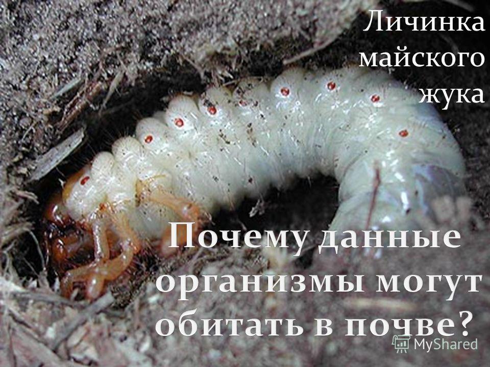 крот медведка Личинка майского жука