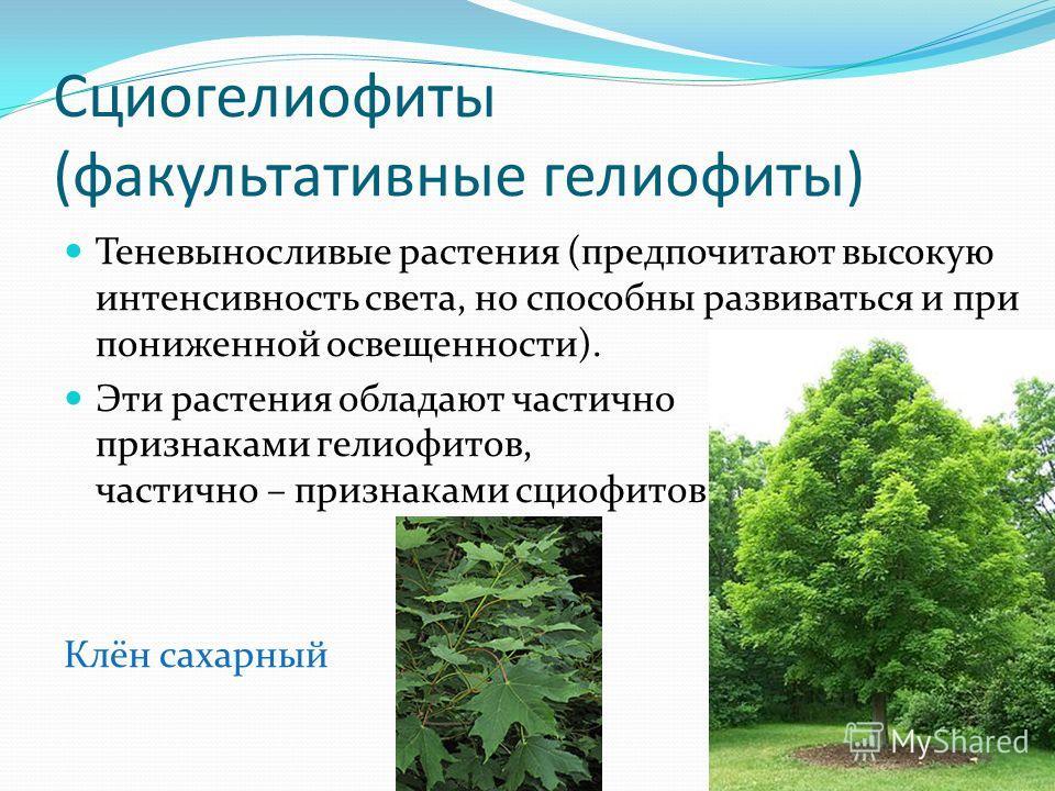 Сциогелиофиты (факультативные гелиофиты) Теневыносливые растения (предпочитают высокую интенсивность света, но способны развиваться и при пониженной освещенности). Эти растения обладают частично признаками гелиофитов, частично – признаками сциофитов.