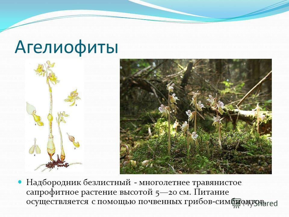 Агелиофиты Надбородник безлистный - многолетнее травянистое сапрофитное растение высотой 520 см. Питание осуществляется с помощью почвенных грибов-симбионтов.