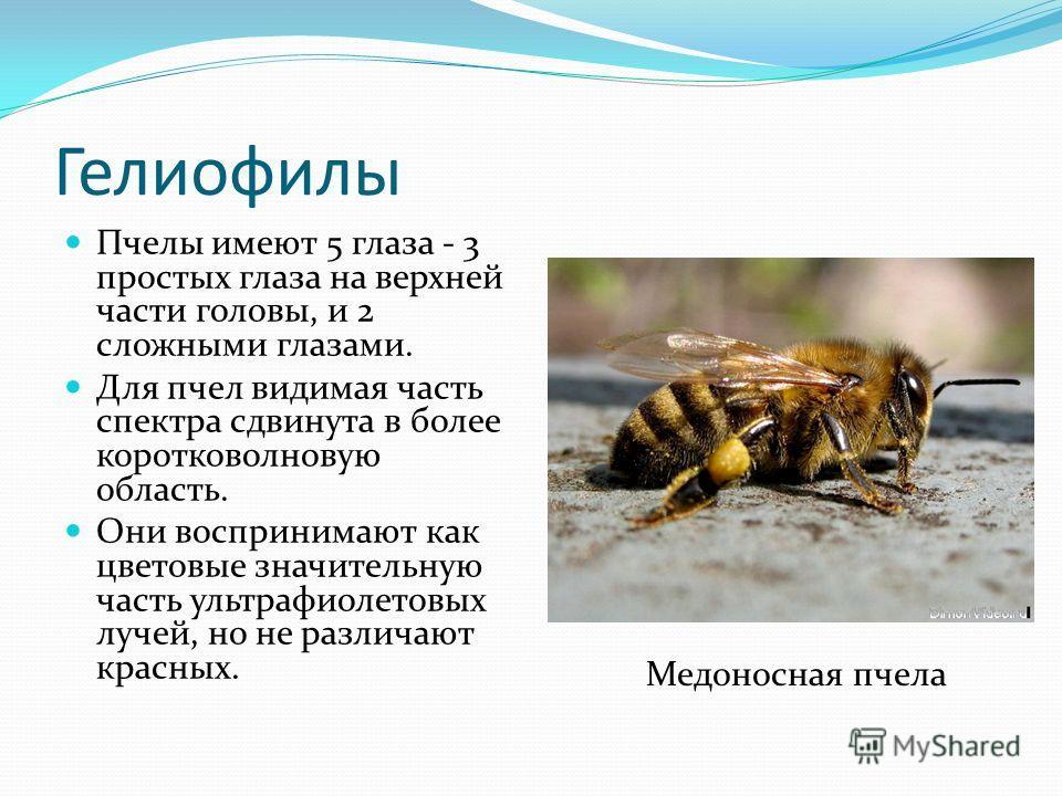 Гелиофилы Пчелы имеют 5 глаза - 3 простых глаза на верхней части головы, и 2 сложными глазами. Для пчел видимая часть спектра сдвинута в более коротковолновую область. Они воспринимают как цветовые значительную часть ультрафиолетовых лучей, но не раз