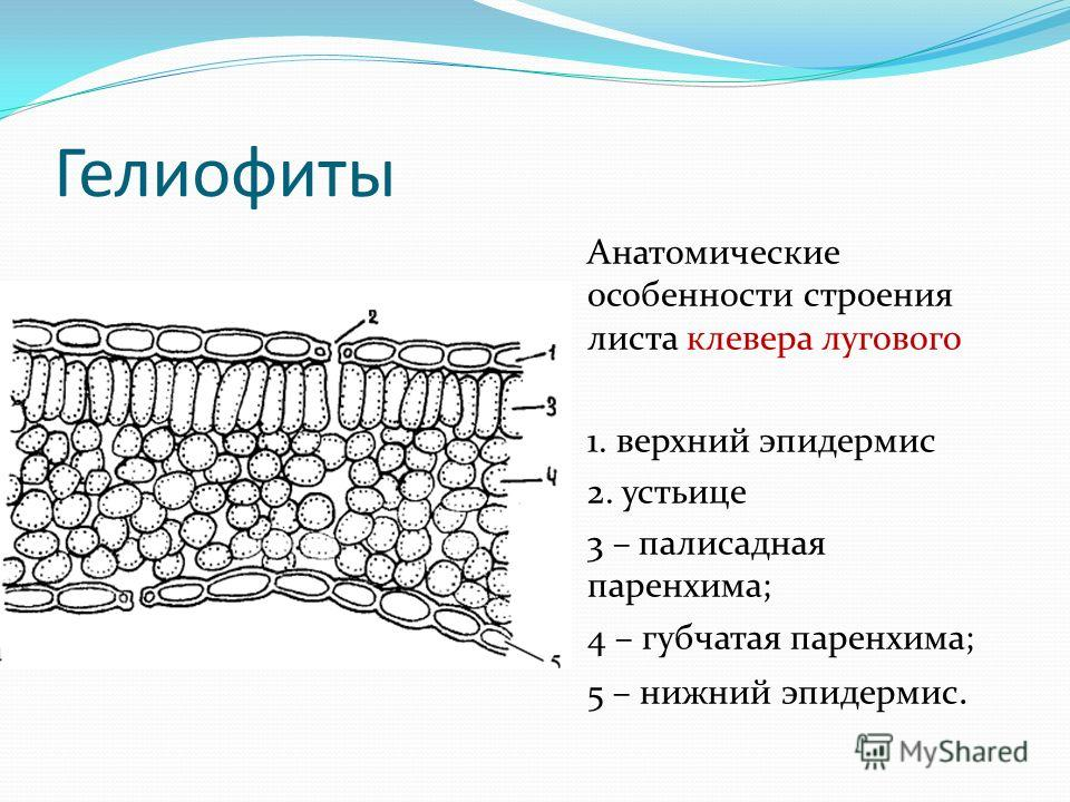 Гелиофиты Анатомические особенности строения листа клевера лугового 1. верхний эпидермис 2. устьице 3 – палисадная паренхима; 4 – губчатая паренхима; 5 – нижний эпидермис.
