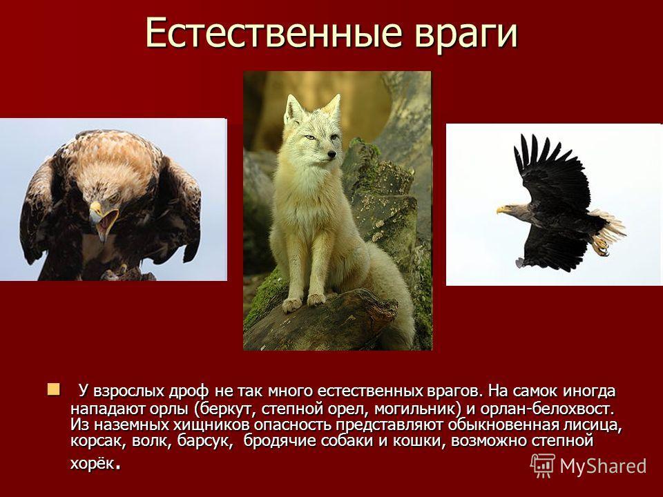 Естественные враги У взрослых дроф не так много естественных врагов. На самок иногда нападают орлы (беркут, степной орел, могильник) и орлан-белохвост. Из наземных хищников опасность представляют обыкновенная лисица, корсак, волк, барсук, бродячие со