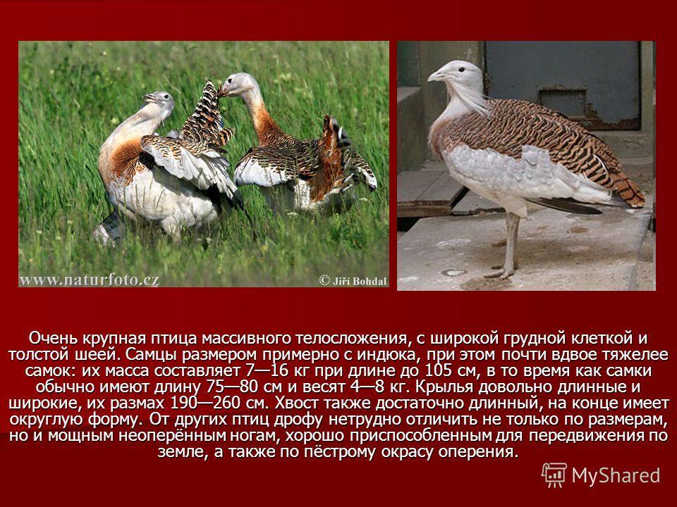 Очень крупная птица массивного телосложения, с широкой грудной клеткой и толстой шеей. Самцы размером примерно с индюка, при этом почти вдвое тяжелее самок: их масса составляет 716 кг при длине до 105 см, в то время как самки обычно имеют длину 7580