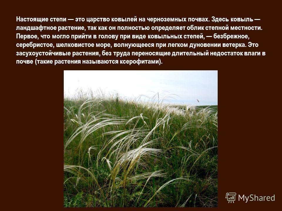Настоящие степи это царство ковылей на черноземных почвах. Здесь ковыль ландшафтное растение, так как он полностью определяет облик степной местности. Первое, что могло прийти в голову при виде ковыльных степей, безбрежное, серебристое, шелковистое