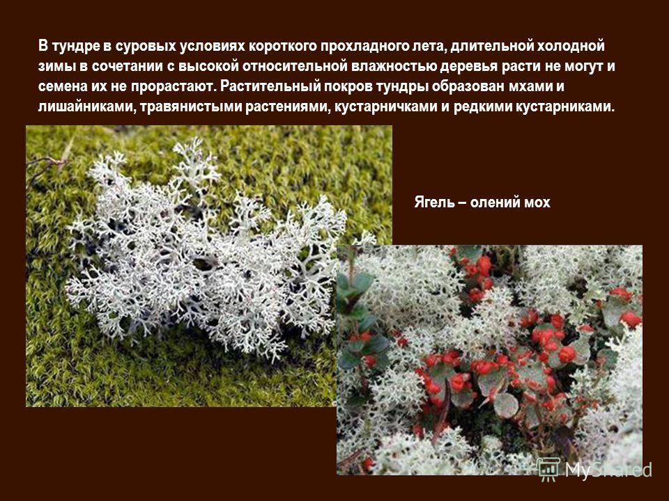 В тундре в суровых условиях короткого прохладного лета, длительной холодной зимы в сочетании с высокой относительной влажностью деревья расти не могут и семена их не прорастают. Растительный покров тундры образован мхами и лишайниками, травянистыми р