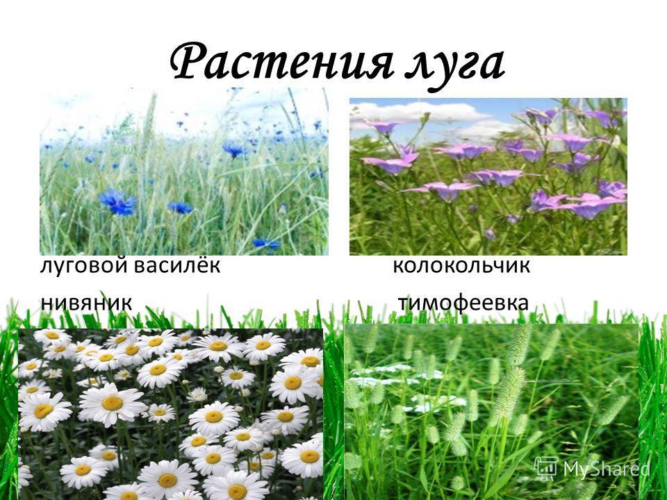 Растения луга луговой василёк колокольчик нивяник тимофеевка