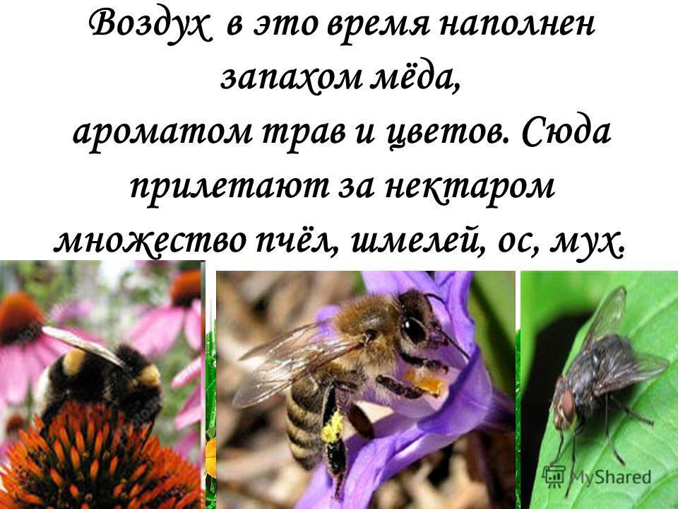 Воздух в это время наполнен запахом мёда, ароматом трав и цветов. Сюда прилетают за нектаром множество пчёл, шмелей, ос, мух.