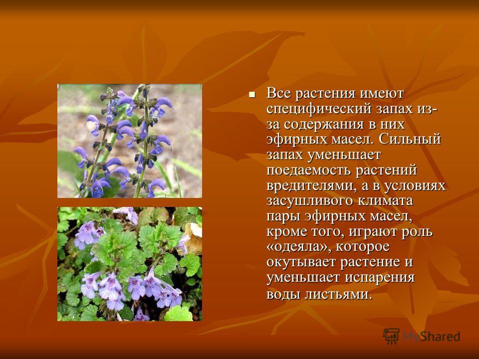 Все растения имеют специфический запах из- за содержания в них эфирных масел. Сильный запах уменьшает поедаемость растений вредителями, а в условиях засушливого климата пары эфирных масел, кроме того, играют роль «одеяла», которое окутывает растение