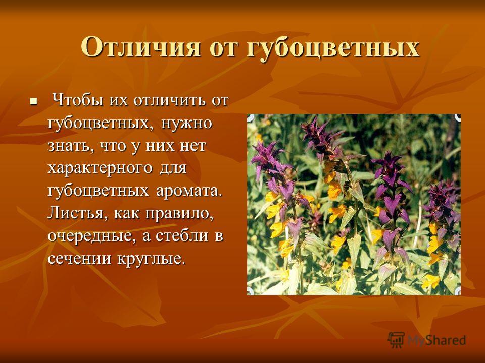 Отличия от губоцветных Отличия от губоцветных Чтобы их отличить от губоцветных, нужно знать, что у них нет характерного для губоцветных аромата. Листья, как правило, очередные, а стебли в сечении круглые. Чтобы их отличить от губоцветных, нужно знать