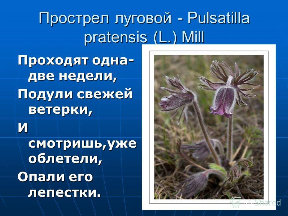 Прострел луговой - Pulsatilla pratensis (L.) Mill Проходят одна- две недели, Подули свежей ветерки, И смотришь,уже облетели, Опали его лепестки.