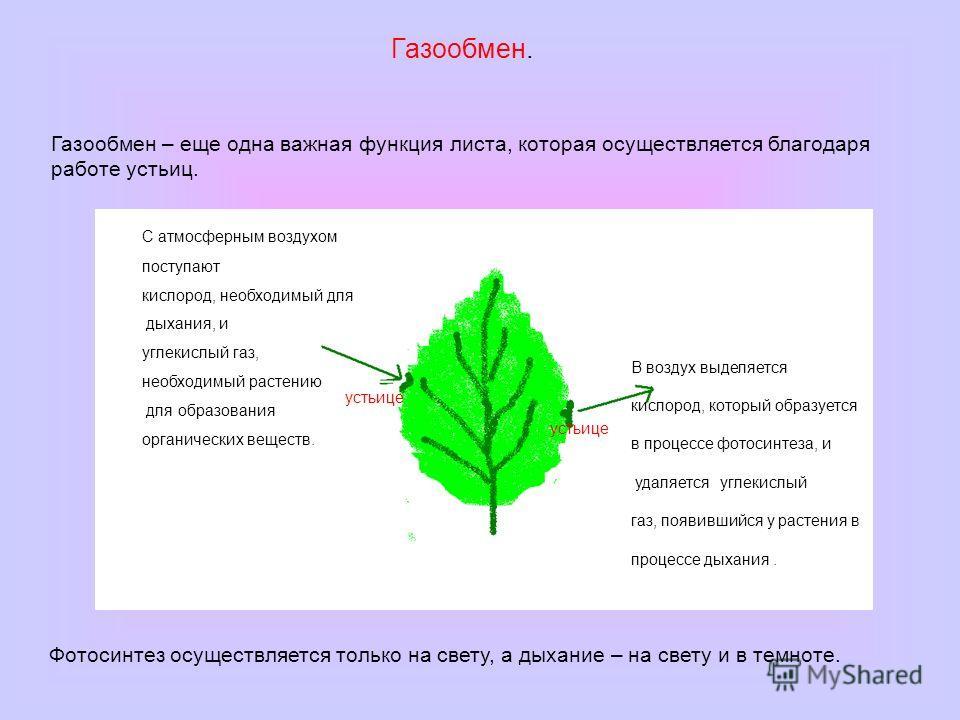 Газообмен. Газообмен – еще одна важная функция листа, которая осуществляется благодаря работе устьиц. устьице С атмосферным воздухом поступают кислород, необходимый для дыхания, и углекислый газ, необходимый растению для образования органических веще