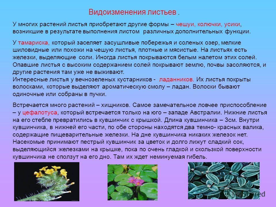 Видоизменения листьев. У многих растений листья приобретают другие формы – чешуи, колючки, усики, возникшие в результате выполнения листом различных дополнительных функции. У тамариска, который заселяет засушливые побережья и соленых озер, мелкие шил