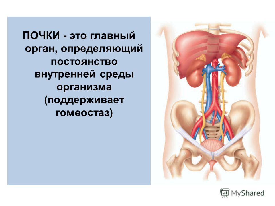 ПОЧКИ - это главный орган, определяющий постоянство внутренней среды организма (поддерживает гомеостаз)