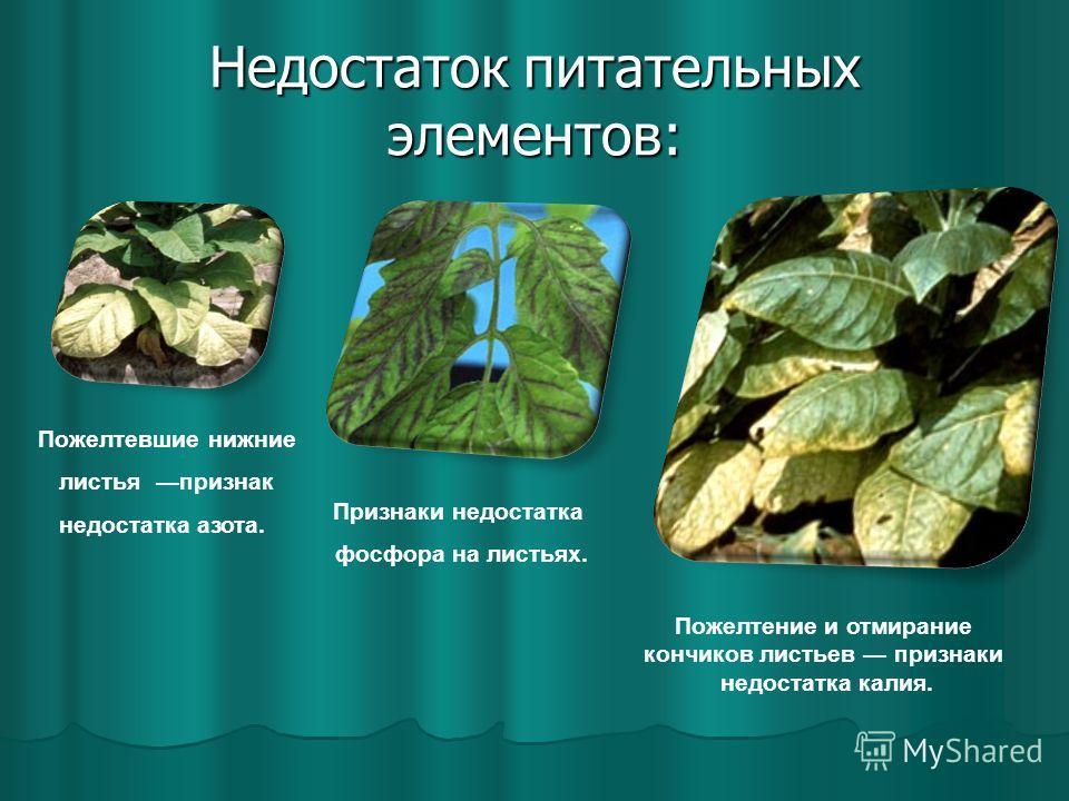 Недостаток питательных элементов: Пожелтевшие нижние листья признак недостатка азота. Признаки недостатка фосфора на листьях. Пожелтение и отмирание кончиков листьев признаки недостатка калия.
