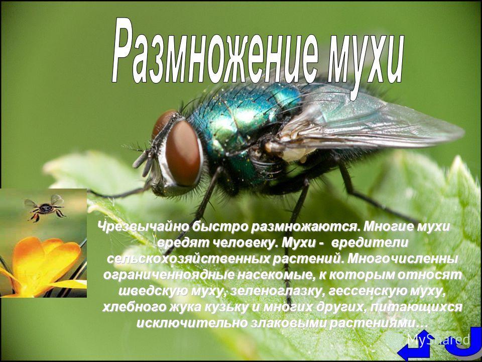 Чрезвычайно быстро размножаются. Многие мухи вредят человеку. Мухи - вредители сельскохозяйственных растений. Многочисленны ограниченноядные насекомые, к которым относят шведскую муху, зеленоглазку, гессенскую муху, хлебного жука кузьку и многих друг