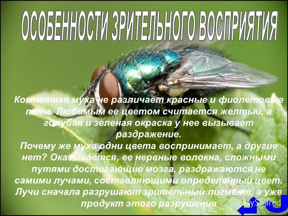 Комнатная муха не различает красные и фиолетовые тона. Любимым ее цветом считается желтый, а голубая и зеленая окраска у нее вызывает раздражение. Почему же муха одни цвета воспринимает, а другие нет? Оказывается, ее нервные волокна, сложными путями