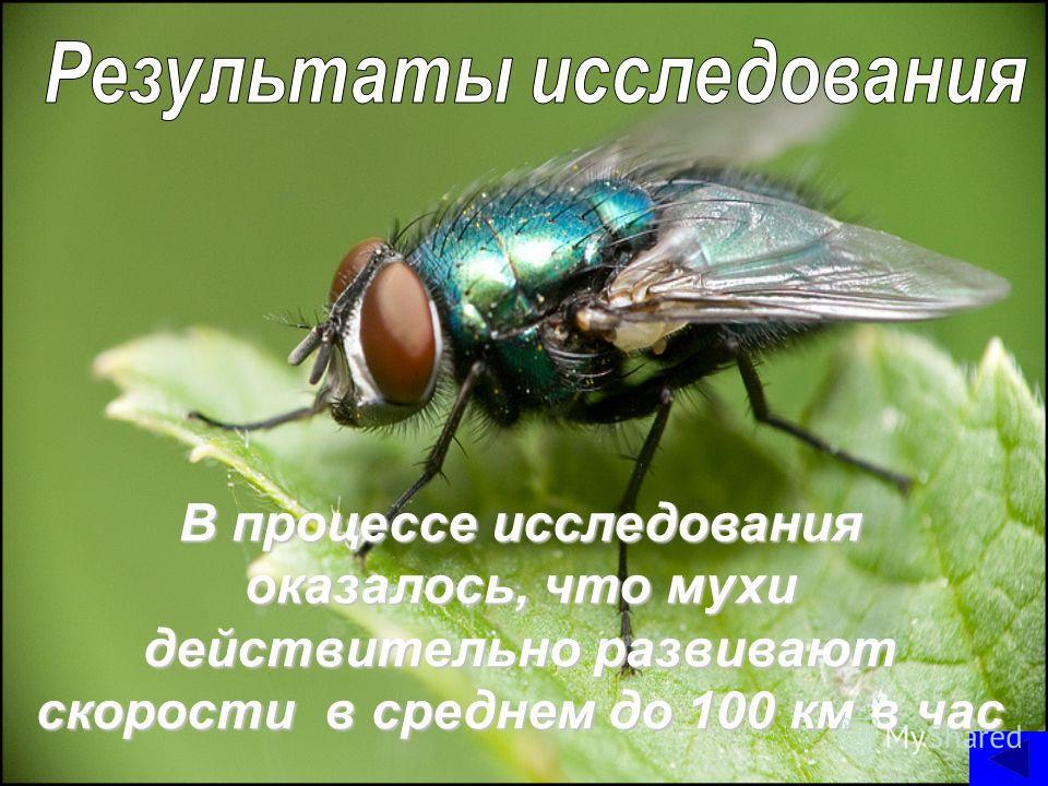 В процессе исследования оказалось, что мухи действительно развивают скорости в среднем до 100 км в час