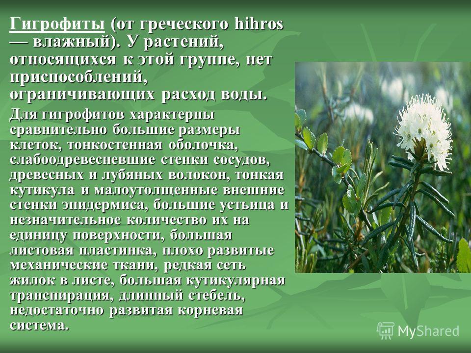 (от греческого hihros влажный). У растений, относящихся к этой группе, нет приспособлений, ограничивающих расход воды. Гигрофиты (от греческого hihros влажный). У растений, относящихся к этой группе, нет приспособлений, ограничивающих расход воды. Дл