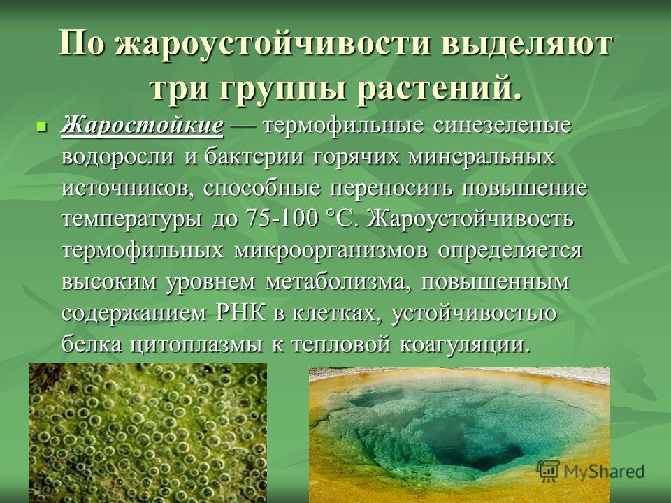 По жароустойчивости выделяют три группы растений. Жаростойкие термофильные синезеленые водоросли и бактерии горячих минеральных источников, способные переносить повышение температуры до 75-100 °С. Жароустойчивость термофильных микроорганизмов определ