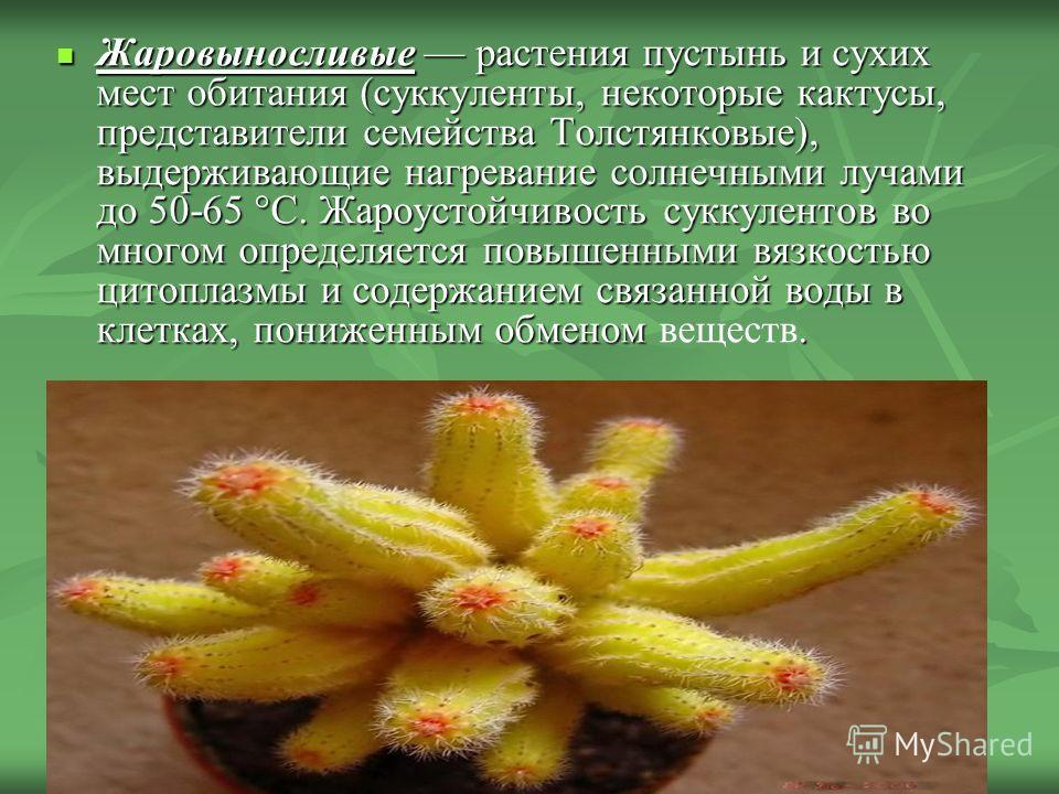 Жаровыносливые растения пустынь и сухих мест обитания (суккуленты, некоторые кактусы, представители семейства Толстянковые), выдерживающие нагревание солнечными лучами до 50-65 °С. Жароустойчивость суккулентов во многом определяется повышенными вязко