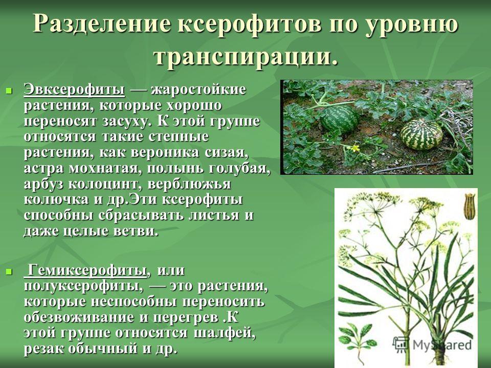Разделение ксерофитов по уровню транспирации. Эвксерофиты жаростойкие растения, которые хорошо переносят засуху. К этой группе относятся такие степные растения, как вероника сизая, астра мохнатая, полынь голубая, арбуз колоцинт, верблюжья колючка и д