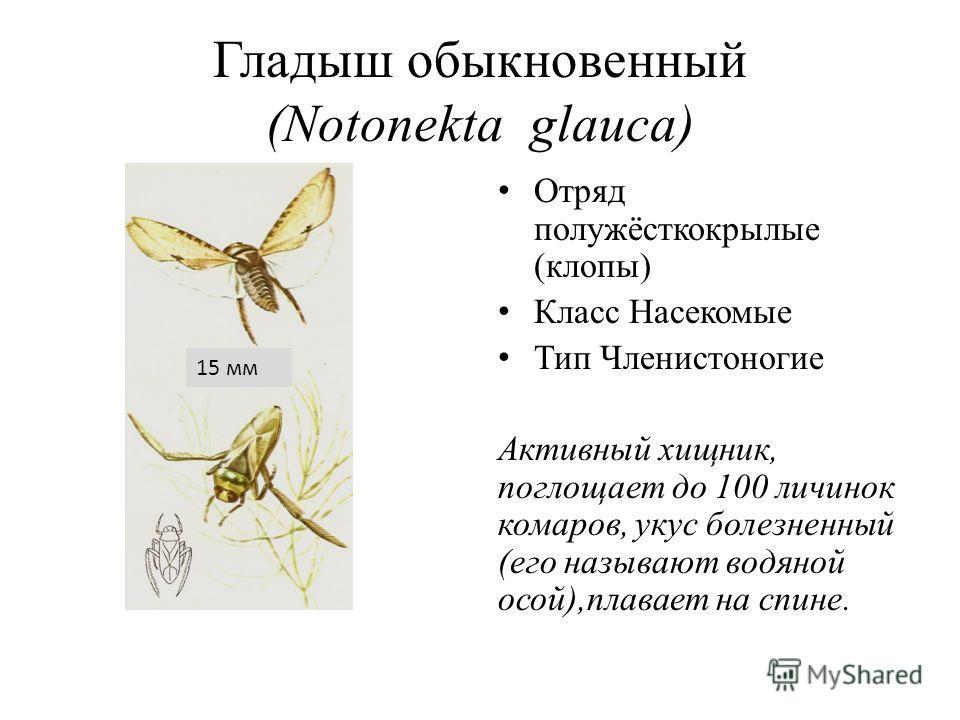 Гладыш обыкновенный (Notonekta glauca) Отряд полужёсткокрылые (клопы) Класс Насекомые Тип Членистоногие Активный хищник, поглощает до 100 личинок комаров, укус болезненный (его называют водяной осой),плавает на спине. 15 мм