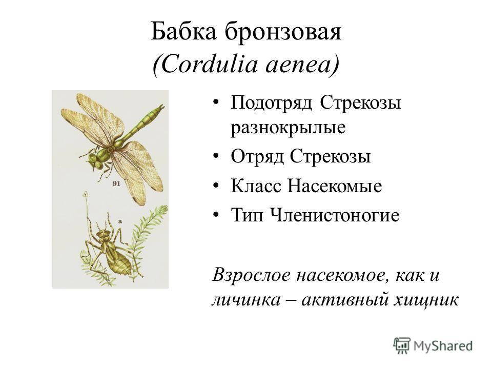 Бабка бронзовая (Cordulia aenea) Подотряд Стрекозы разнокрылые Отряд Стрекозы Класс Насекомые Тип Членистоногие Взрослое насекомое, как и личинка – активный хищник
