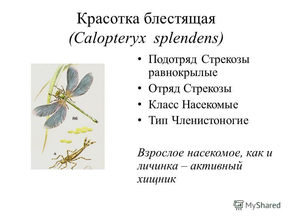 Красотка блестящая (Calopteryx splendens) Подотряд Стрекозы равнокрылые Отряд Стрекозы Класс Насекомые Тип Членистоногие Взрослое насекомое, как и личинка – активный хищник