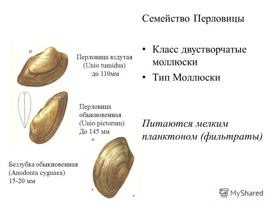 Перловица вздутая (Unio tumidus) до 110 мм Семейство Перловицы Класс двустворчатые моллюски Тип Моллюски Питаются мелким планктоном (фильтраты) Беззубка обыкновенная (Anodonta cygnaea) 15-20 мм Перловица обыкновенная (Unio pictorum) До 145 мм