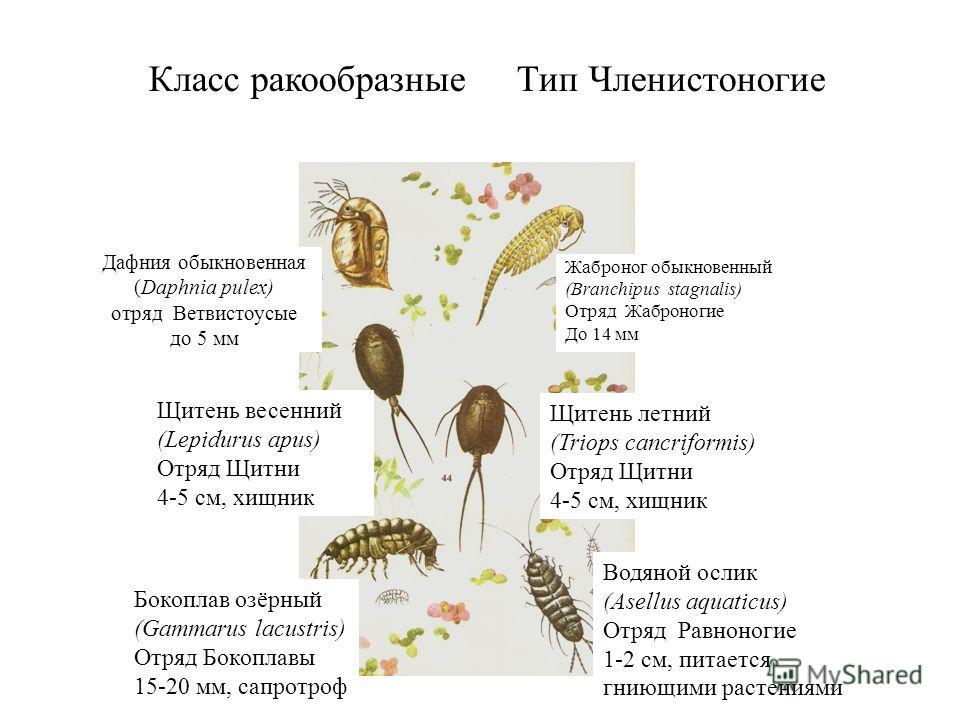 Дафния обыкновенная (Daphnia pulex) отряд Ветвистоусые до 5 мм Жаброног обыкновенный (Branchipus stagnalis) Отряд Жаброногие До 14 мм Щитень весенний (Lepidurus apus) Отряд Щитни 4-5 см, хищник Бокоплав озёрный (Gammarus lacustris) Отряд Бокоплавы 15