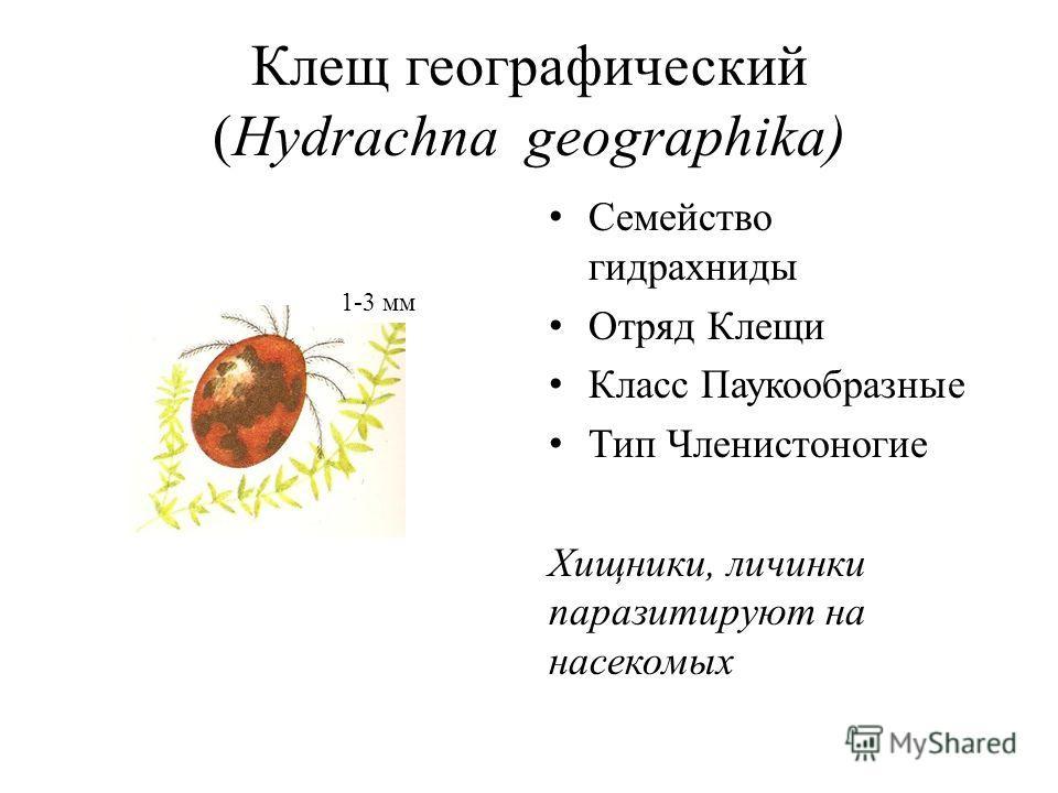 Клещ географический (Hydrachna geographika) Семейство гидрахниды Отряд Клещи Класс Паукообразные Тип Членистоногие Хищники, личинки паразитируют на насекомых 1-3 мм
