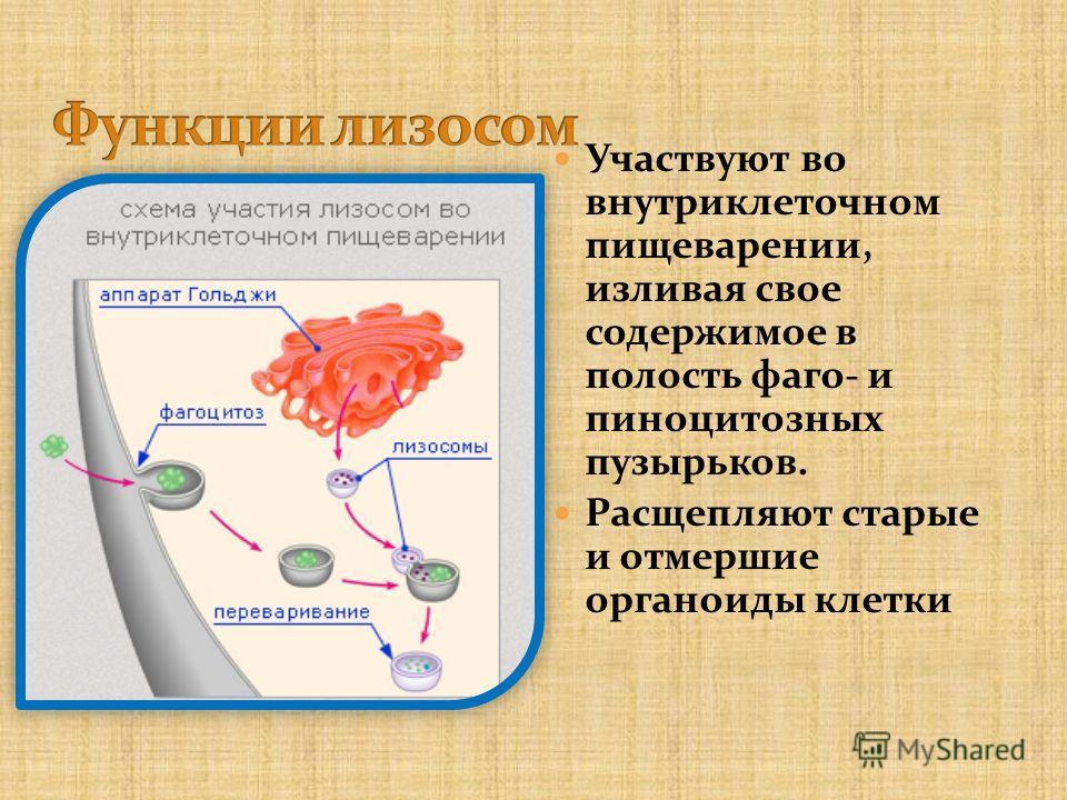 Участвуют во внутриклеточном пищеварении, изливая свое содержимое в полость фаго- и пиноцитозных пузырьков. Расщепляют старые и отмершие органоиды клетки